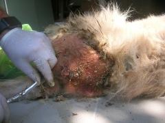 Der Tierarzt säubert die Wunde. Es waren dutzende Würmer zu finden. Es war ekelhaft, wie die arme Hündin gestunken hat.