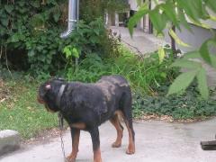 Hilfe für einen älteren Rottweiler_3